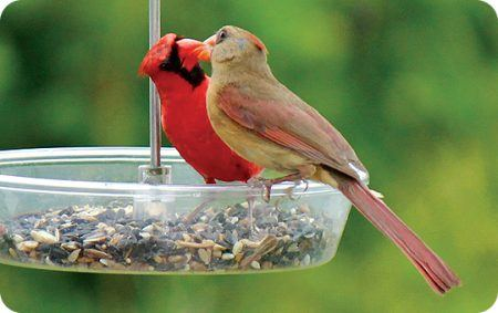 Courting & Mating