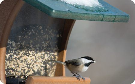 Feeder Feeding, Carolina Chickadee, Wild Birds Unlimited, WBU