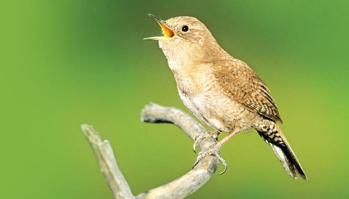 House Wren, Bird Photo, Wild Birds Unlimited, WBU