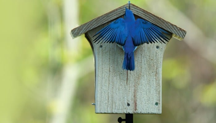 Nesting, Bluebird Nest, Eastern Bluebird, Wild Birds Unlimited, WBU