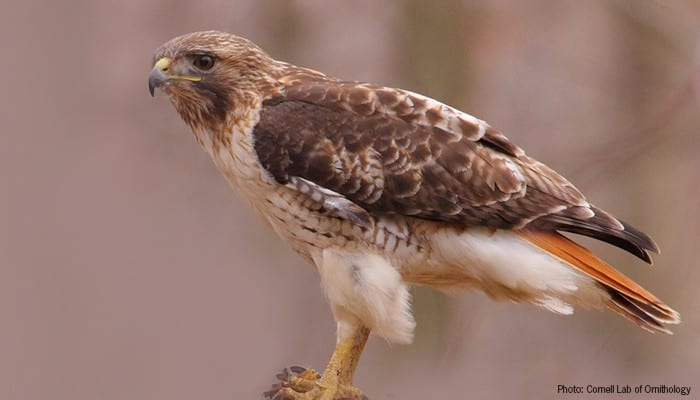 Red Tail Hawk, Bird Photo, Wild Birds Unlimited, WBU