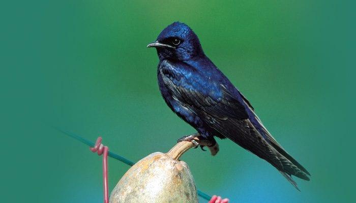 Purple Martin, Bird Photo, Wild Birds Unlimited, WBU