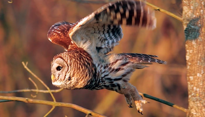 Barred Owl, Bird Photo, Wild Birds Unlimited, WBU