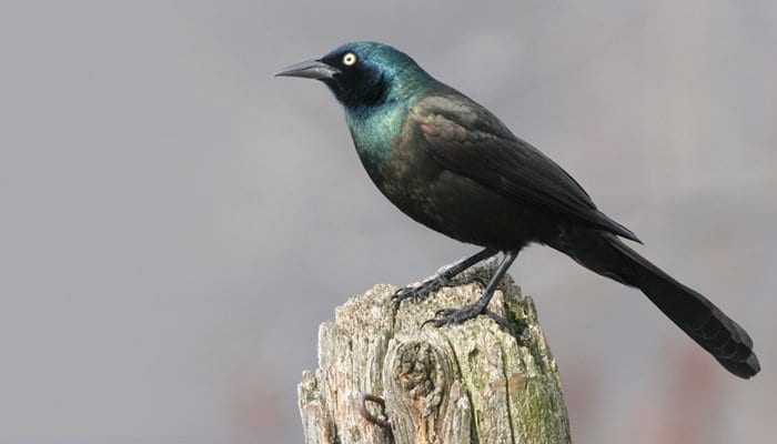 Common Grackle, Bird Photo, Wild Birds Unlimited, WBU